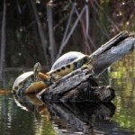 6221030-turtles-sunbathing-on-log-ding-darling-sanibel-florida