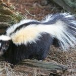 640px-Striped_Skunk