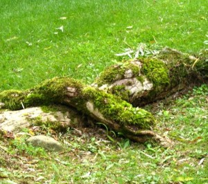 The moss-covered roots of the willow tree