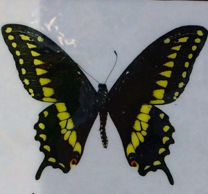 Drawing in the Butterfly House at Native Plant Nursery
