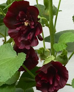Black hollyhocks