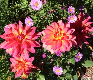 Dahlias and asters