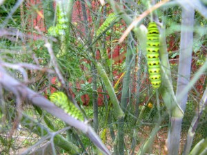 Eastern Black Swallowtail caterpillars on fennel bush