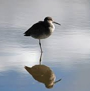 A willet on one leg