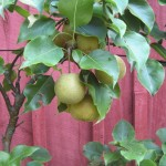 pears-on-branch
