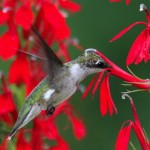 ruby_throated_hummingbird_2