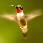 ruby_throated_hummingbird_9