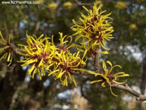Witch hazel in flower